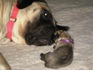 Please meet Mommy Skye and Baby Willow.  I have been feeding UrbanWolf for almost  3 yrs.  I breed Mastiffs and German Shepherds.  We have raised 3 litters on UrbanWolf and are more then satisfied with the results.  Beautiful coats, wonderful condition, and no pano cases in our puppies.  Thank you for making such a wonderful food.  Linda Pike, Goulds, Newfoundland, Canada