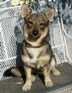 I found Urban Wolf when my 7 month old Swedish Vallhund puppy started loosing weight no matter